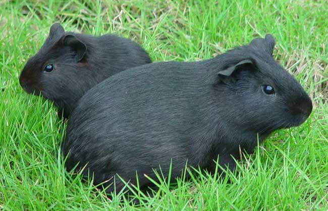 中华黑豚养殖技术