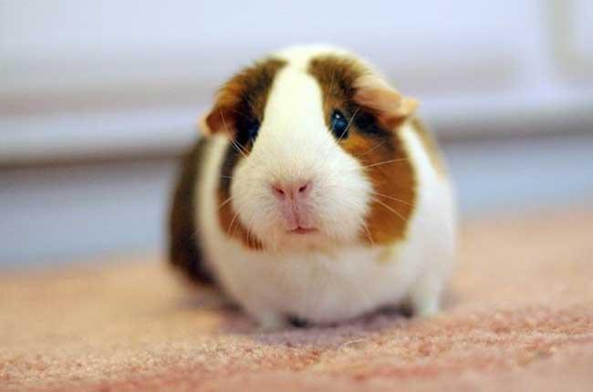 荷兰猪怎么养才能养好呢