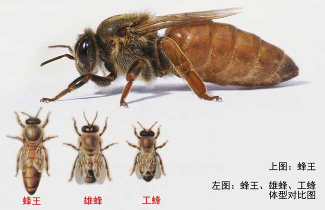 蜂王死了怎么办