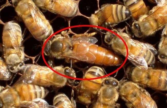 蜂王被围的六种情况