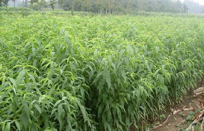 黄桃树苗的价格及种植方法