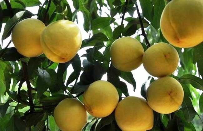 黄桃产地分布有哪些地方?