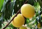黄桃树苗种植方法