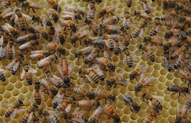 农广人工中蜂儿歌知道要点天地养殖技术蜜蜂我饲养了小蜜蜂大全图片