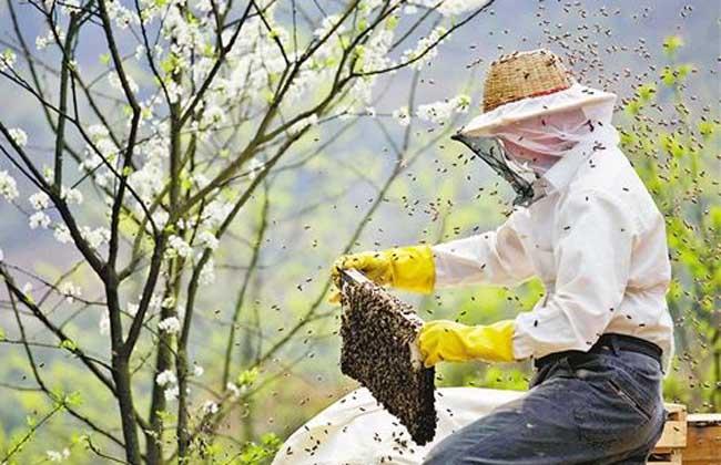 蜜蜂夏季管理技术