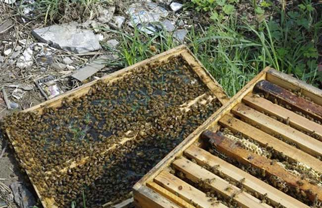 最新流行10大人工分蜂方法