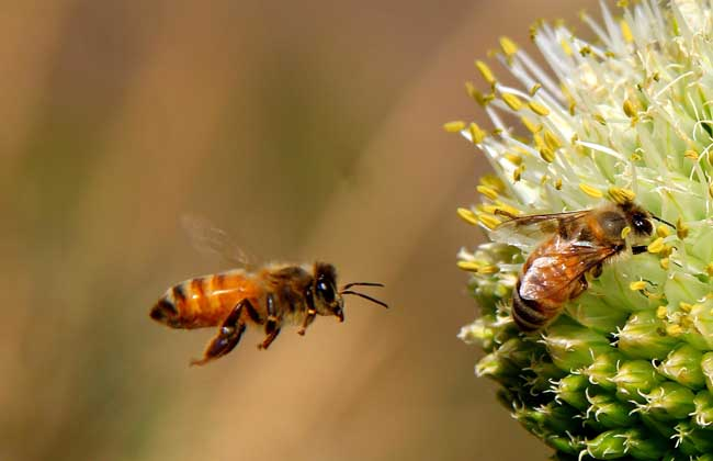 蜜蜂养殖技术