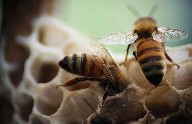 蜜蜂身体结构图片