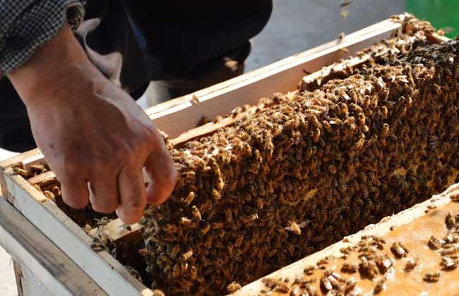 蜂王浆的生产技术