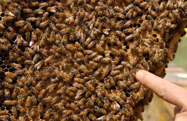 桶养中华蜜蜂有哪些缺点与不足
