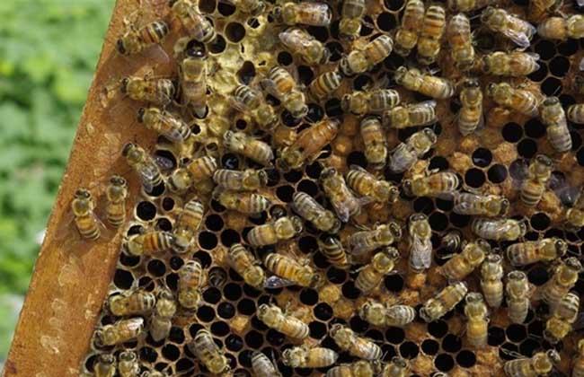 蜜蜂养殖自然分蜂的控制和处理