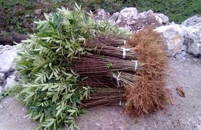 花椒树苗的种类有哪些