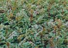 花椒树苗的种类有哪些?