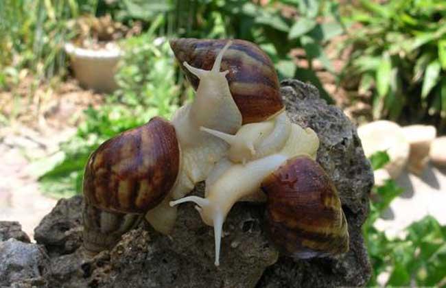 白玉蜗牛在饲养时应注意的问题