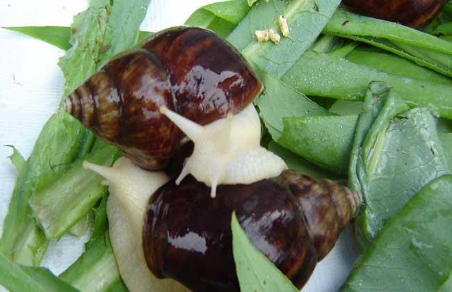 如何防治蜗牛病