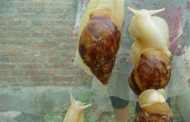 白玉蜗牛种蜗牛的选择标准