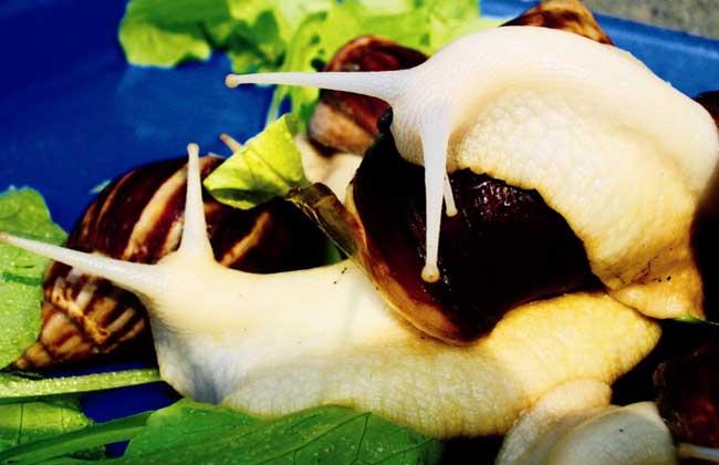 白玉蜗牛养殖中吃什么?