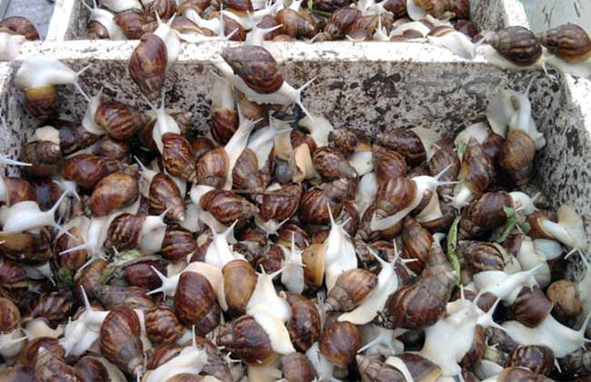 白玉蜗牛高效养殖技术