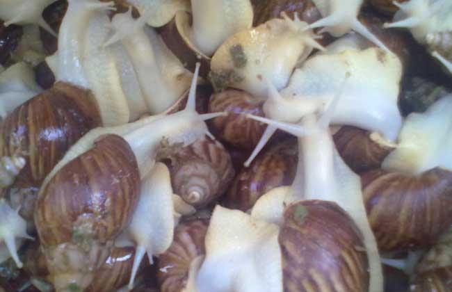 """白玉蜗牛""""三高""""养殖新技术"""