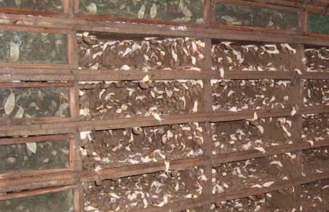 夏季养殖白玉蜗牛
