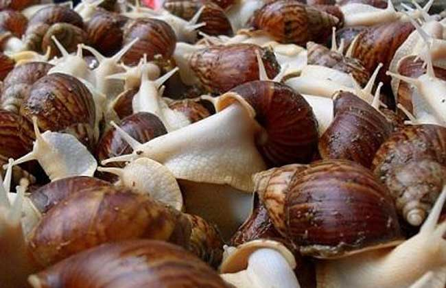 蜗牛交配产卵