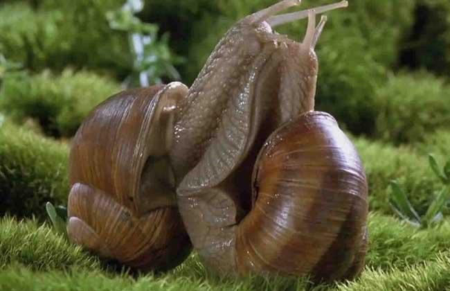 法国光亮大蜗牛养殖技术