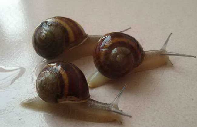 散大蜗牛室内立体养殖技术