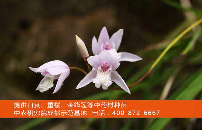 白芨的生长习性和产地分布