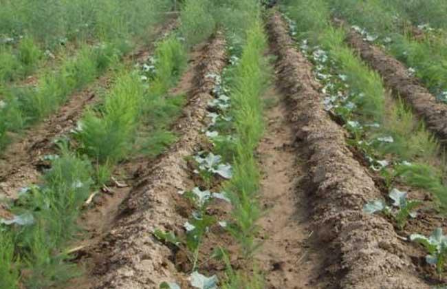 芦笋种子种植前的处理方法
