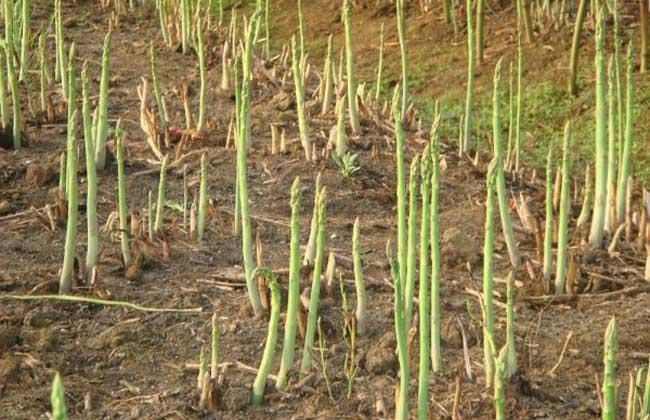 芦笋种植前景