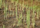 芦笋种植前景怎么样?