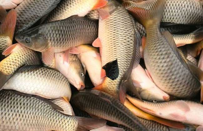鲤鱼养殖饲料配方及投饵技巧
