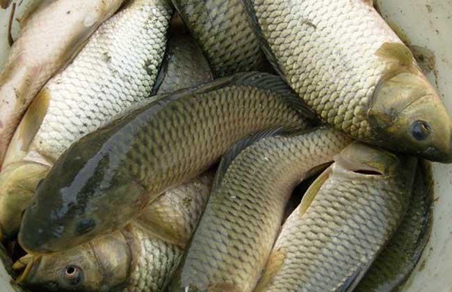 鲤鱼养殖技术