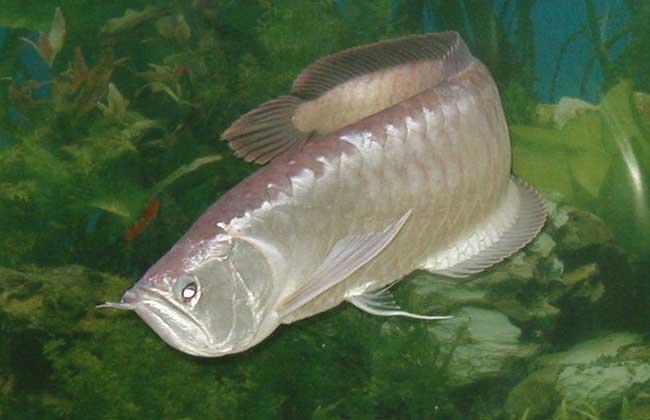 银龙鱼可以和哪些鱼混养