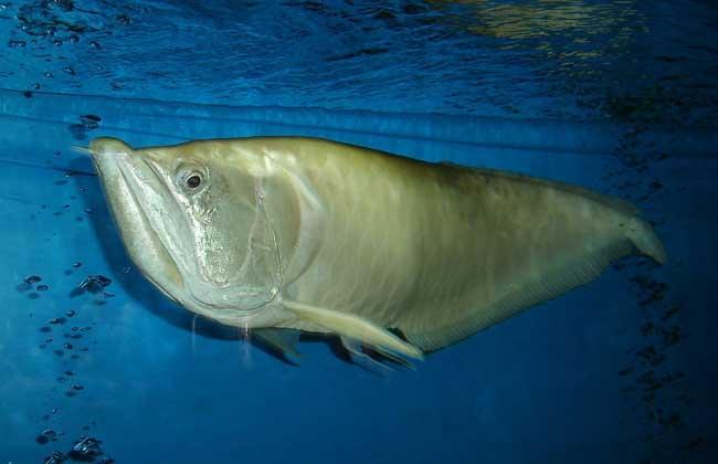 银龙鱼吃什么