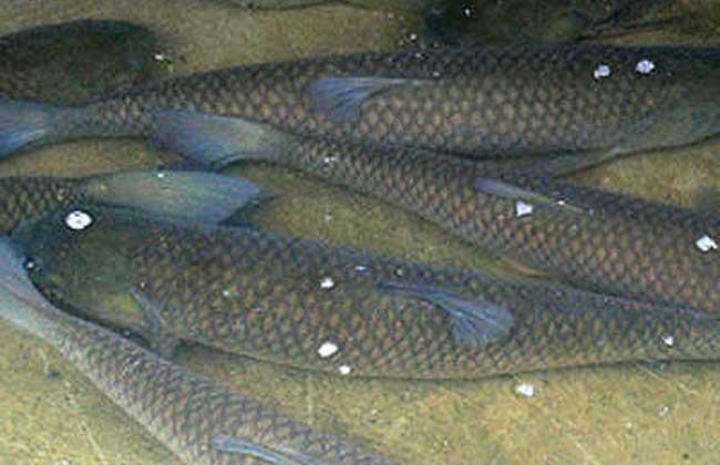 草鱼的生活习性