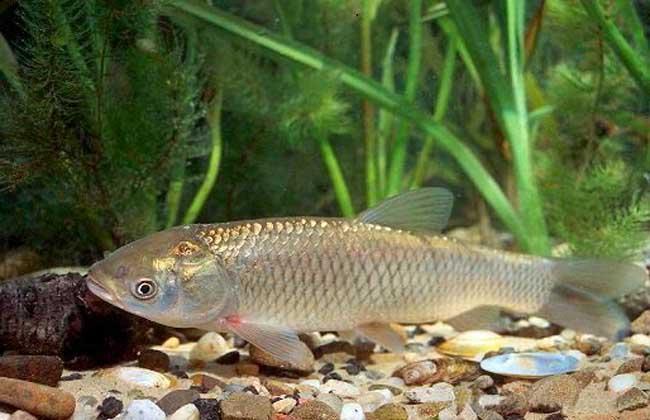 池塘精养草鱼高产养殖管理技术