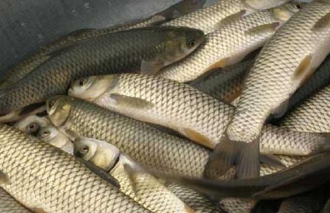 青鱼和草鱼的区别