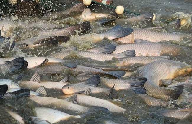 青鱼养殖技术视频