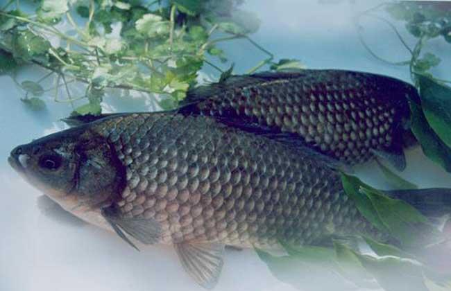 优质鲫鱼的养殖技术