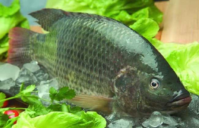 罗非鱼的疾病防治方案