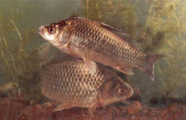 鲫鱼养殖过程中的注意事项