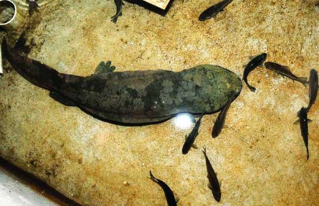 如何鉴别娃娃鱼商品鱼与种鱼
