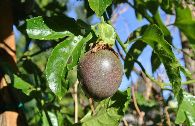 百香果的种植条件