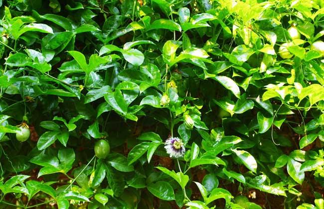 百香果种植技术视频