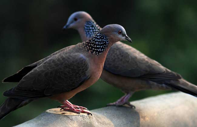 珠颈斑鸠吃什么