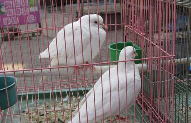 白斑鸠价格