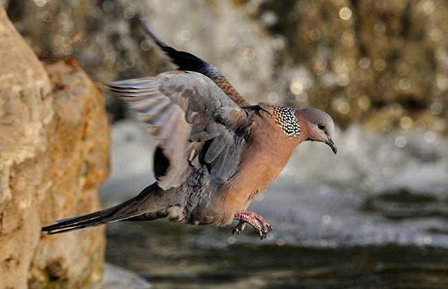 斑鸠的种类有哪些?