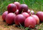 百香果一般是几月份成熟?