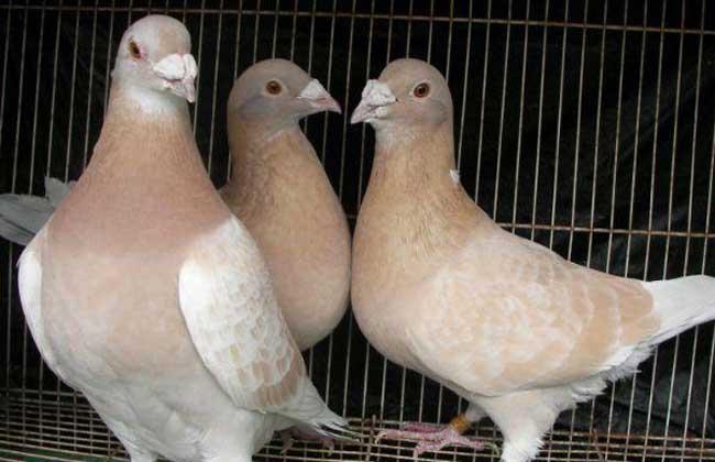 鸽子的养殖利润分析及成本计算